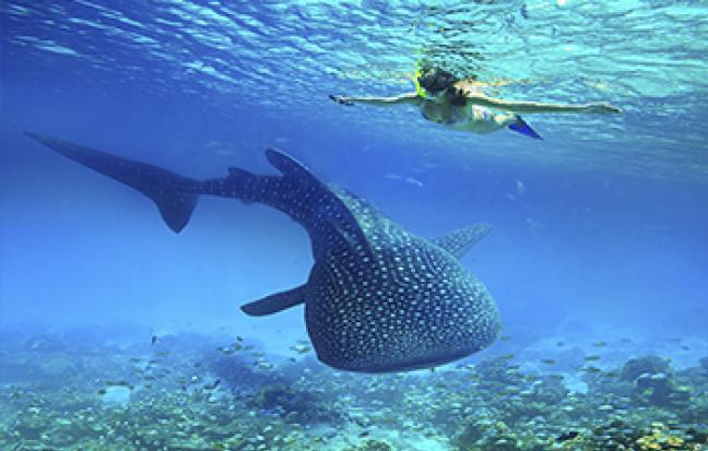ทัวร์ฟิลิปปินส์ เซบู โบโฮล ว่ายน้ำชมปลาฉลามวาฬ