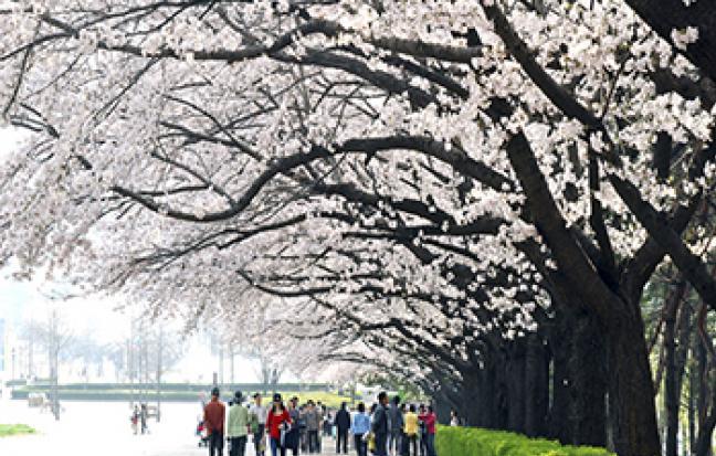 ทัวร์เกาหลี Cherry Blossom เทศกาบชมดอกซากุระ