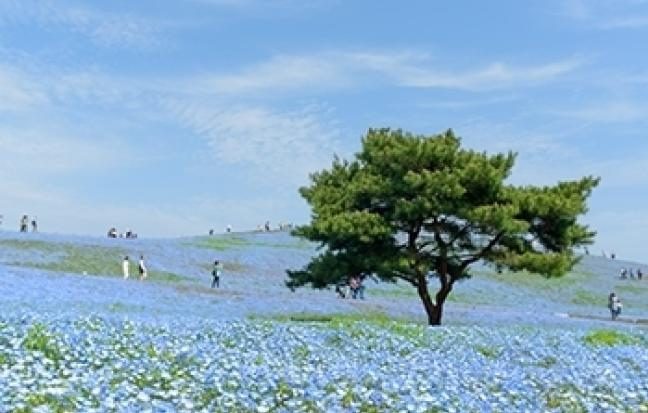 ทัวร์ญี่ปุ่น TOKYO-NIKKO-KUSATSU-BABY-BLUE-EYES-STRAWBERRY