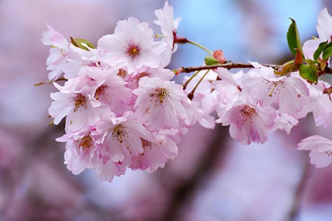 ทัวร์จีน มหัศจรรย์ คุนหมิง กุ้ยโจว Pingba Cherry blossom