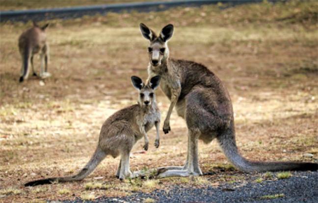 ทัวร์ออสเตรเลีย ซิดนีย์-บลูเม้าท์เท่น